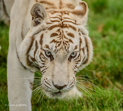 White Tiger - old blue eyes! D61_4860.jpg (Mobile Lynn) Tags: wild cats nature fauna cat mammal kent big unitedkingdom wildlife bigcat mammals bigcats whitetiger wildcats smarden wildlifeheritagefoundation landmammals