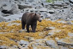 The side-eye (raewynp) Tags: bear usa alaska rocks kelp barnacles boar brownbear ursusarctos katmai katmainationalpark sideeye coastalbrownbear