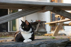 James the Cat (katie_mccolgan) Tags: blackandwhite cat bench backyard farm massachusetts greeneyes resting paws lookingout