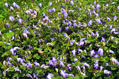 wild beauty (Sougata2013) Tags: wild india flower macro beautiful nikon monsoon wildflowers mandi himachalpradesh nikond3200 prashar prasharlake