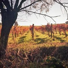 early Autumn colors,  the first day of autumn ....(walking close to home) 9#9 (magioca65) Tags: 6x6 kodak voigtlander skopar brillant codevilla ektar100 epsonv600