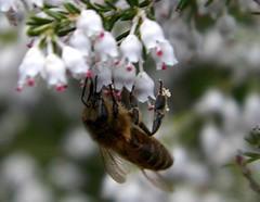 100_8228 (Cassiopée2010) Tags: nature abeille insecte fleursauvage cévennes callune