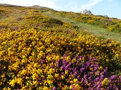 P1010322 (jrcollman) Tags: plants places devon dartmoor haytor ulexgallii eplant ericacinerea haytortohoundtor