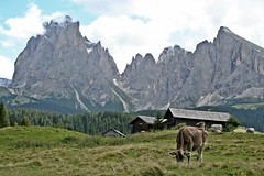 Dolomites - Walk from Mont Seuc Chair Lift - Cow & Sassolungo Range (zorro1945) Tags: cow italia hiking peaks dolomites valgardena italiy sudtirol sassolungo montseuc