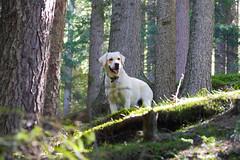 (Mike Wylde) Tags: trees italy dog alps colour nature animal forest lumix lab labrador dof sigma panasonic southtirol m43 gh3 micro43