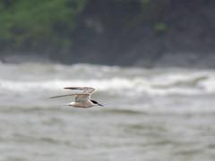 Common Tern (Mike Prince) Tags: india birds goa aves commontern laridae sternahirundo morjimbeach whitecheekedtern sternarepressa gullsternsandskimmers