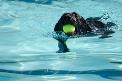 20140920-HSM_3535 (Howard Metz Photography) Tags: dog water pool swimming utah sandy canine blacklab waterdog aquatics howardmetzphotography