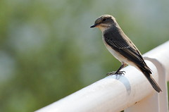 Spotted Flycatcher @ Hatta Hill Park, Hatta, Dubai, UAE (Ma3eN) Tags: dubai uae spotted hatta flycatcher 2014 hillpark