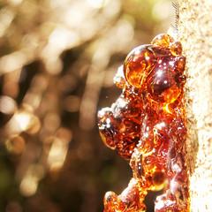 Resprout (Aaroncillo) Tags: naturaleza tree nature arbol natural bokeh ambient resin resina sprout sap ambiente brotar flickrfriday savia aaroncillo aarongil