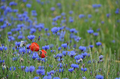 Cornflowers with a couple of poppies peeping through (Heathermary44) Tags: flowers blue red summer field landscape denmark outdoor poppies cornflowers
