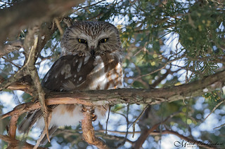 Northern Saw-Whet Owl (Explored)
