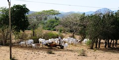Cattle (Hear and Their) Tags: fray benito holguin cuba cattle beef herd oxen