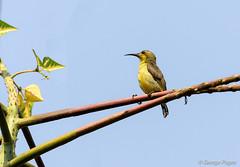 Olive-backed Sunbird (George Pagos) Tags: siemréab birds cambodia olivebackedsunbird siemreap