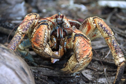 "Robber crab • <a style=""font-size:0.8em;"" href=""http://www.flickr.com/photos/137365235@N06/33379447231/"" target=""_blank""></noscript>View on Flickr</a>"