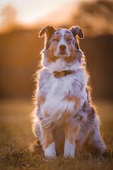 portrait of a lady (juhwie.foto - PROJECT: LEIDENSCHAFT-LICH-T) Tags: portrait lady aussie australian shepherd dog sunset golden light pentax nature k1