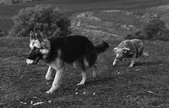 Stalking.. (bridgetcam79) Tags: friends bw playing dogs ball nikon germanshepherd stalking workingdog d610