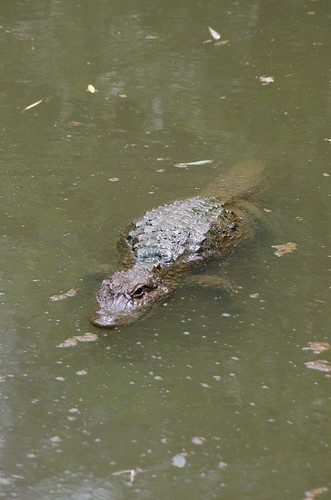 Shanghai Wild Animal Park - Crocodile / 上海野生动物园 - 鳄鱼
