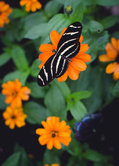 Butterfly (kecotting) Tags: flowers orange green butterfly insect nikon butterflyhouse hersheygardens d5100