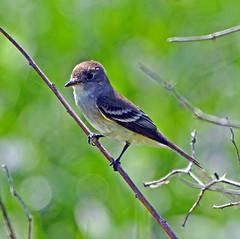 Willow flycatcher (carpingdiem) Tags: birds indianapolis willowflycatcher
