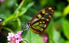 Lepidptero (Miguel ngel Jimnez) Tags: bolivia alas mariposa parquenacional transparentes lepidptero ambor miguelngeljimnez