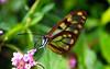 Lepidóptero (Miguel Ángel Jiménez) Tags: bolivia alas mariposa parquenacional transparentes lepidóptero amboró miguelángeljiménez