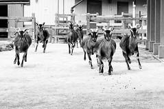 Stampede (CarbonNYC [in SF!]) Tags: goat goats familyfarm sfzoo stampede running sanclemente sanclementes sanclementegoats cz childrenszoo explorationzone ez farm zoo sf sanfrancisco sanfranciscozoo bayarea california carbonnyc carbonsf pettingzoo outersunset sanfranciscozoogardens
