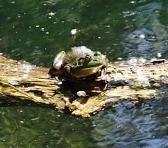 Sunshine frog (EcoSnake) Tags: frogs amphibians basking naturecenter bullfrogs invasivespecies ranacatesbeiana americanbullfrog idahofishandgame lithobatescatesbeiana