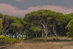 Pine Trees (pollylew) Tags: trees portugal algarve falesia pinetrees
