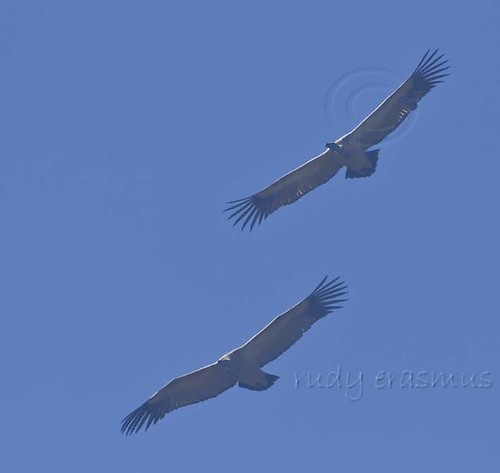Cape Vulture  formation _1055