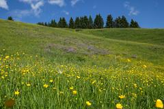 Juicy Grasslands (cheesy42) Tags: flowers grass juicy colorful meadow wiese blumen gras kleinwalsertal saftig