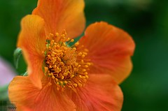Orange Skye Beauty (fs999) Tags: flower macro fleur paintshop 50mm pentax tube 25 paintshoppro blume makro k5 corel bloem aficionados pentaxist a50 artcafe kenko f17 uniplus masterphotos pentaxa50mmf17 80iso a5017 pentaxian pzaf ashotadayorso macrolife justpentax topqualityimage zinzins flickrlovers topqualityimageonly fs999 fschneider pentaxart pentaxk5 paintshopprox6ultimate x6ultimate