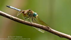 Blue Dasher (sjsimmons68) Tags: animals bluedasher pachydiplaxlongipennis insectsandspiders secretlakepark dragonflyanddamselfly fllocations
