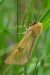 Diacrisia sannio (LisaOlsson) Tags: moth nattfjäril spinnare diacrisiasannio cloudedbuff björnspinnare rödfransadbjörnspinnare