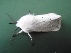 All White 2 (Jensje) Tags: white black netherlands butterfly groen moth nederland dots wit vlinder otterloo stippen wittetijger spilosomalubricipeda whiteermine nachtuiltje tienuursvlinder beervlinder