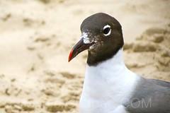 Lipstick Gull