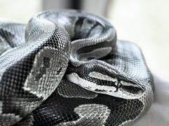 Python (M$ingh.) Tags: ohio blackandwhite usa eye nature animals canon reptile snake wildlife highcontrast monotone boa scales python fangs predator ballpython pawpawfestival boaconstrictor eosrebel vertebrate athensohio t4i canont4i