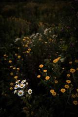 Wildblumenwiese #7