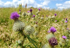 Scottish Thistle (Michelle O'Connell Photography) Tags: flower scotland purple glasgow thistle nettle prickly jaggy michelleoconnellphotography