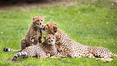 Cheetah with cubs (John van Beers) Tags: germany zoo cub cheetah muenster mnster munster dierentuin allwetterzoo northrhinewestphalia jachtluipaard
