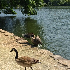 Wednesday Geese (Cat B Photography) Tags: park blue trees newyork reflection beach nature water wednesday fly geese pond sand natural stonybrook longisland canadiangeese caught iphone avalonpark dayinthepark