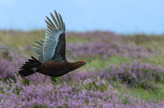 Record-breaking Grouse