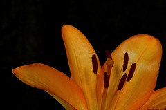 Orange Lily 4 (Helen Mulvey) Tags: orange flower lily