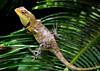 Iguana (nimakhosravi) Tags: lizard iguana specanimal
