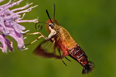 A Flying Shrimp (brev99) Tags: bug insect flying hummingbirdclearwingmoth lordstirlingpark bujg topazdetail tamron70300vc highqualityanimals