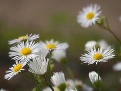 Korbblüter - Klein aber fein (fotoculus) Tags: flowers flores fleur germany deutschland flora blumen saar rheinlandpfalz saarburg irsch