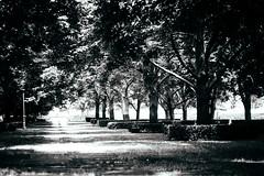 Fade (Danielle Bednarczyk) Tags: trees blackandwhite bw tree art monochrome grass leaves path walk lawn sunny courtyard monotone mo kansascity missouri kc nelsonatkins