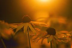 The End (Matt Champlin) Tags: sunset summer flower home canon random bokeh laborday 2014 endofsummer