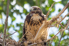A juvenile Swainson's Hawk screeches