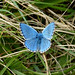 "Adonis Blue Butterfly<br /><span style=""font-size:0.8em;"">Figsbury Ring, Salisbury, 31st August 2014</span> • <a style=""font-size:0.8em;"" href=""https://www.flickr.com/photos/86899224@N07/14910216758/"" target=""_blank"">View on Flickr</a>"