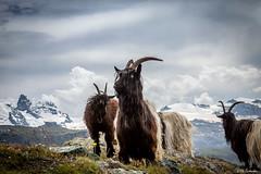Rgion Zermatt (PZ Photography) Tags: canon landscape zermatt paysage cervin eos5dmarkii